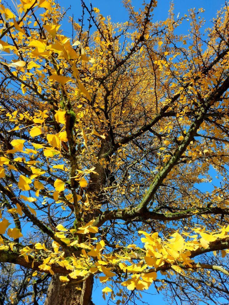 Ginkoboom bij de Schovenhorst (foto: Mw. A. Deppe)